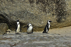 African penguins. Stock Photography