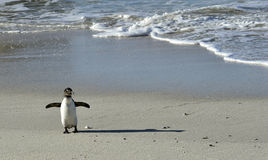 African penguins. Royalty Free Stock Photo