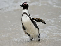 African penguins. Royalty Free Stock Photos
