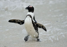 African penguins. Royalty Free Stock Image