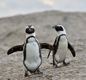 African penguins. African penguin (spheniscus demersus), also known as the jackass penguin and black-footed penguin is a species of penguin Boulders colony in Royalty Free Stock Photography