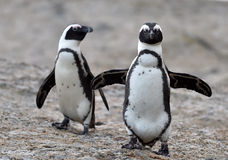African penguins. African penguin (spheniscus demersus), also known as the jackass penguin and black-footed penguin is a species of penguin Boulders colony in Stock Photos