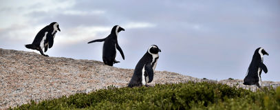 African penguins. Stock Photos