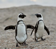 African penguins. Stock Images