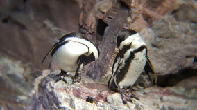 African Penguins. Pruning themselves on the rocks Stock Images