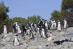 The African Penguins on Robben Island Cape Town Royalty Free Stock Photos