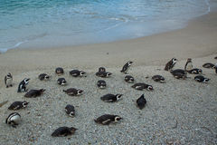 The African Penguins on Robben Island Cape Town So Royalty Free Stock Photos