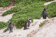 The African Penguins on Robben Island Cape Town So Stock Photos