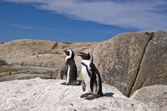 African penguins on rock. African Penguin - Spheniscus demersus. A full grown African penguin, also known as a penguin because of their mating sound. Picture stock photos