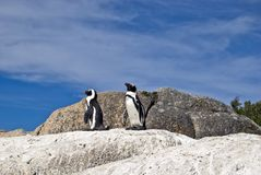African penguins on rock. The African Penguin, also known as the Blackfooted Penguin Stock Image