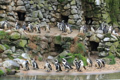 African penguins rookery Royalty Free Stock Photo