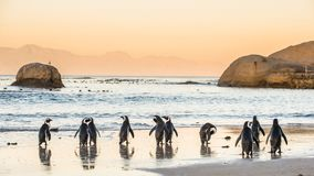 African penguins on the sandy coast in sunset. Red sky.