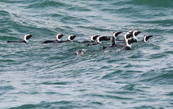 African Penguins At Sea in Indian Ocean Stock Image