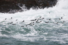 African Penguins At Sea in Indian Ocean. A flock of African penguins search for food in the Indian Ocean near Port Elizabeth, South Africa Royalty Free Stock Image