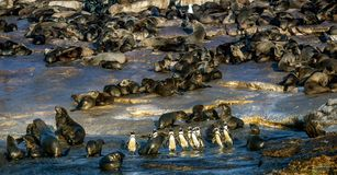 African Penguins on Seal Island. royalty free stock image