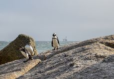 African Penguins. On the seashore in Southern Africa Stock Photo
