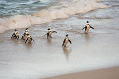 African penguins on the shore Stock Photo