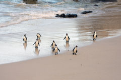 African penguins on the shore Royalty Free Stock Photos