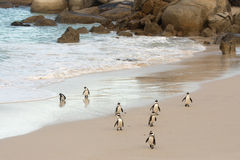 African penguins on the shore Stock Images