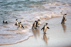 African penguins on the shore Royalty Free Stock Photo