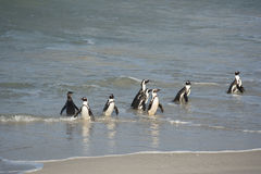 African penguins on the shore Stock Photos