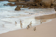 African penguins on the shore Royalty Free Stock Images
