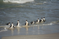 African penguins on the shore Stock Photography
