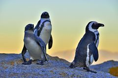 African penguins on the shore in evening twilight.  Red sunset sky. Stock Photo