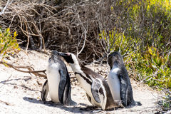African Penguins in Simons Town, South Africa Royalty Free Stock Images
