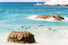 African Penguins in Simons Town, South Africa Royalty Free Stock Photo