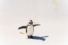 African Penguins in Simons Town, South Africa Stock Photos