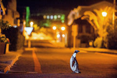 The African penguins in Simonstown at night. Royalty Free Stock Photography