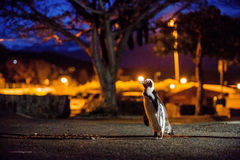 The African penguins in Simonstown at night. Stock Image