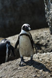African Penguins at Simonstown (South Africa) Royalty Free Stock Image