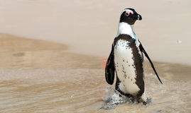 African Penguins at Simonstown (South Africa) Royalty Free Stock Photos