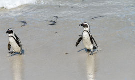 African Penguins at Simonstown (South Africa) Stock Image