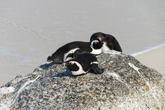 African Penguins at Simonstown (South Africa) Stock Photography