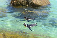 African Penguins. Some African Penguins taking a leisurely swim at Boulders Beach Cape Town Royalty Free Stock Photos