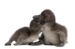 African Penguins, Spheniscus demersus. 3 and 5 days old, against white background Stock Photography