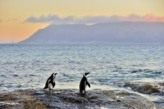 The African penguins on the shore in  evening twiligh,red sunset sky. Stock Photography