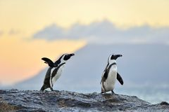 African penguins on the shore in evening twilight.  Red sunset sky. Royalty Free Stock Photo