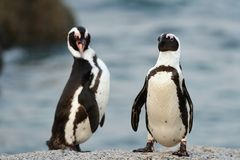 The African penguins Stock Images