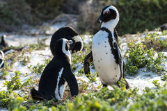 African Penguins (Spheniscus Demersus) Royalty Free Stock Images