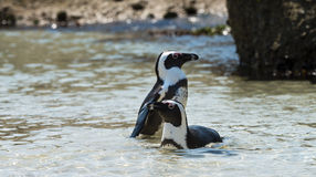African Penguins (Spheniscus Demersus) Royalty Free Stock Image