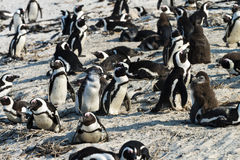 African Penguins (Spheniscus Demersus) Stock Photo
