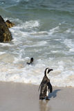 African Penguins (Spheniscus Demersus) Royalty Free Stock Photography