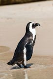 African Penguins (Spheniscus Demersus) Stock Images