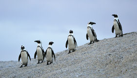 African penguins Royalty Free Stock Photos