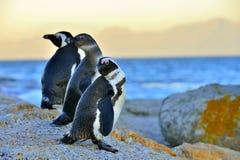 African penguins spheniscus demersus. Evening twilight above red sunset sky. Stock Photo