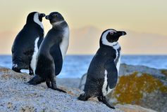 African penguins spheniscus demersus. Evening twilight above red sunset sky. Royalty Free Stock Image